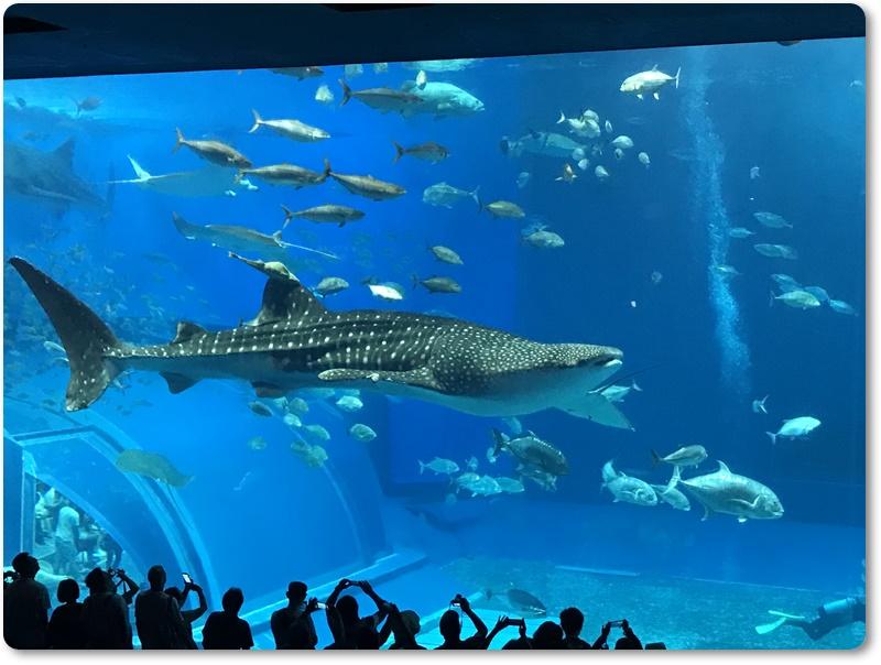 沖縄 男の一人旅。美ら海水族館に行ってきた。見どころやお土産の穴場も紹介。